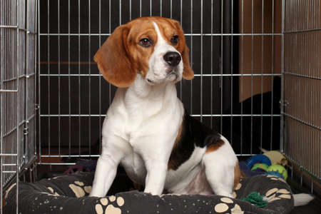 Sad Beagle Dog sits in cage