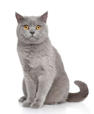 Portrait of British Shorthair cat sits on a white background