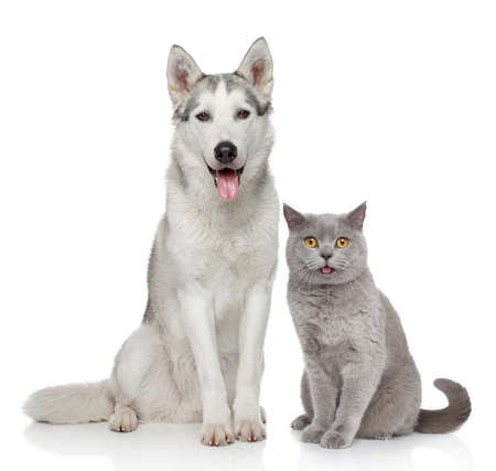 Photo pour Cat and dog together posing on a white background - image libre de droit