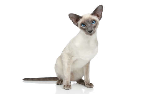 Oriental Blue-point siamese cat sitting on a white background