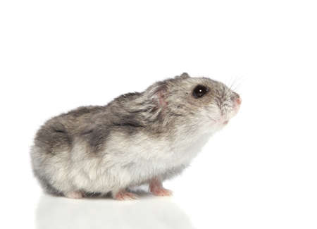 Asian hamster on white background