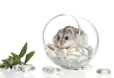 Asian hamster in a glass on a white background