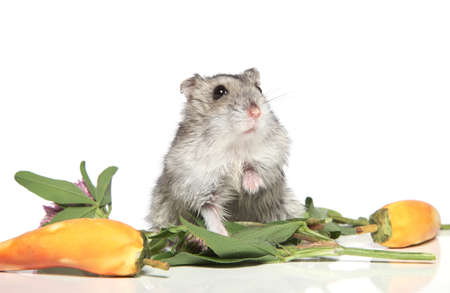Asian hamster in flower on a white background