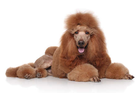 Groomed red standard poodle lying in front of white background