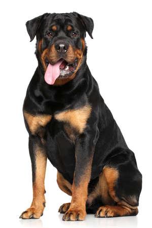 Rottweiler dog. Portrait on a white background