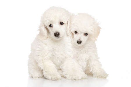 Photo for Poodle puppies on white background - Royalty Free Image