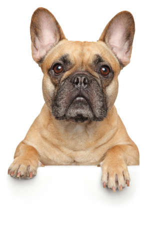 Photo pour French Bulldog above banner, isolated on white background. Animal themes - image libre de droit