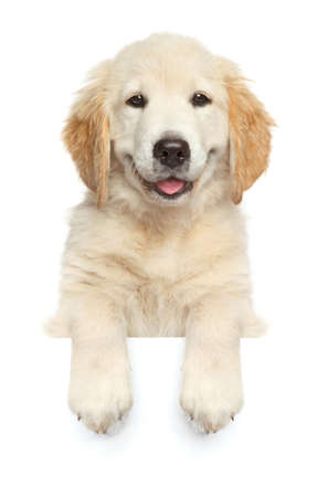 Photo for Happy dog above banner, isolated on white background, front view - Royalty Free Image