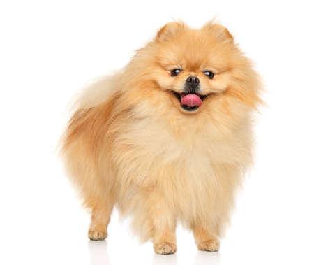 Photo pour A happy Pomeranian Spitz stands on a white background - image libre de droit