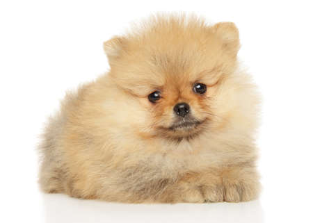 Photo for Cute Pomeranian puppy lying on a white background. The theme of baby animals - Royalty Free Image