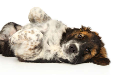 Photo for A happy Caucasian Shepherd puppy resting on a white background - Royalty Free Image