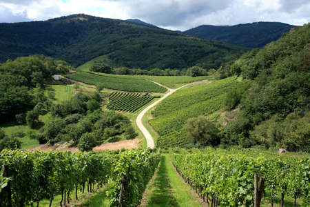 Route des vines in Alsace - France.Vineyard