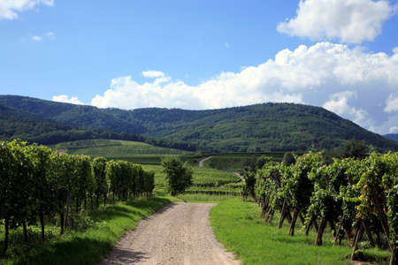 Route des vines in Alsace - France. Vineyard.