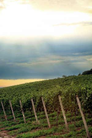 Vineyard in Schwarzwald near Baden-Baden spa – west Germany