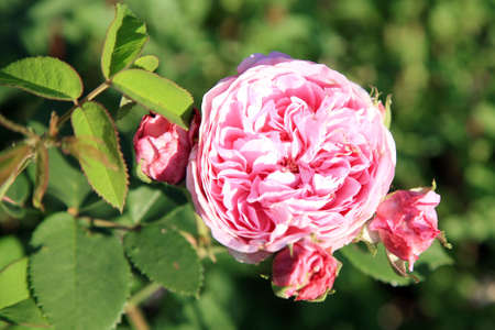 Blossom of the historic pink rose Louise Odier, bourbon rose in the summer garden.