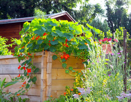 Nasturtium vines on raised bed