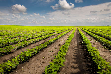 Photo pour Field with farming of soy bean and a blue sky on the background. - image libre de droit