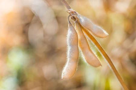 Foto für Ripe soybeans on the field ready to harvest - Lizenzfreies Bild