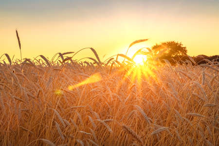 Photo pour Wheat field with blue sky with sun and clouds against the backdrop of a trees when the harvest is ripe - image libre de droit