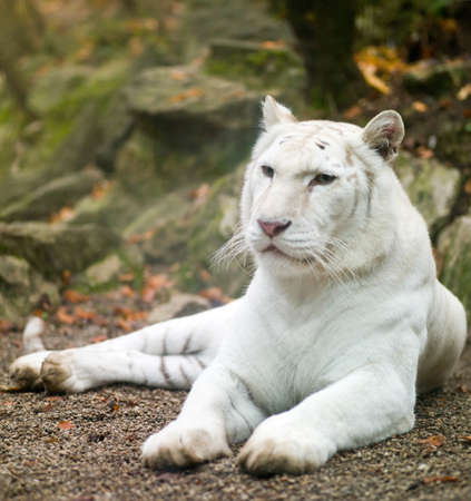 white tiger in a prone position on the nature