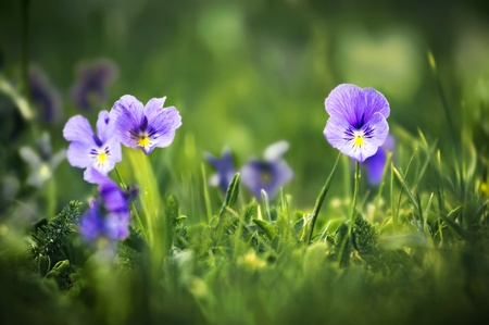 violet flowers in green grass