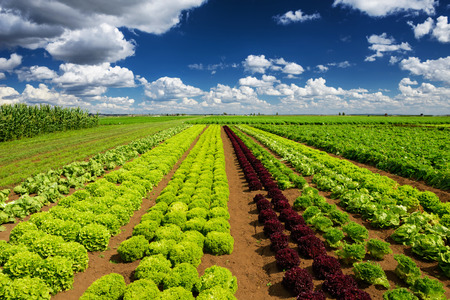Agricultural industry. Growing salad lettuce on fieldの写真素材