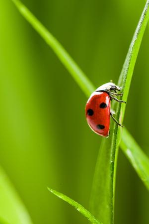 Ladybug on Green Grass Over Green Bachground. studio shot
