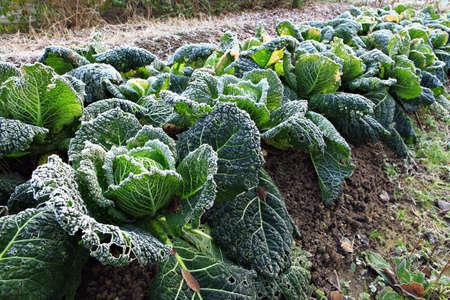 Savoy cabbage in the winter garden