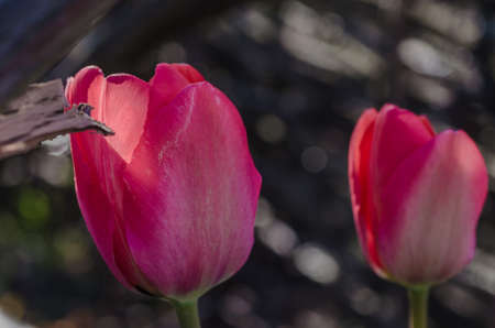 Photo pour red beautiful tulips in spring time, floral background - image libre de droit