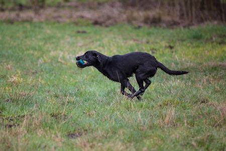 Dog on the run. Breed dog Labrador Retriever