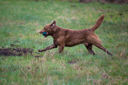 Dog on the run. The dog breed Chesapeake Bay Retriever