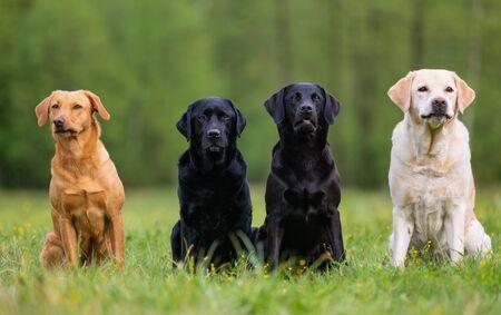 Foto de Four Labrador retriever dogs on the meadow - Imagen libre de derechos
