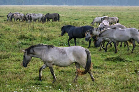 Photo pour Herd of horses grazing in a meadow in the mist. Horses in a foggy meadow in autumn. Horses and foggy morning in Kemeri National Park, Latvia. Wild horses grazing in the meadow on misty summer morning. - image libre de droit
