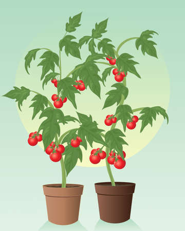 an illustration of two healthy organic tomato plants with green foliage and ripe juicy red fruit in terracotta pots on a green background