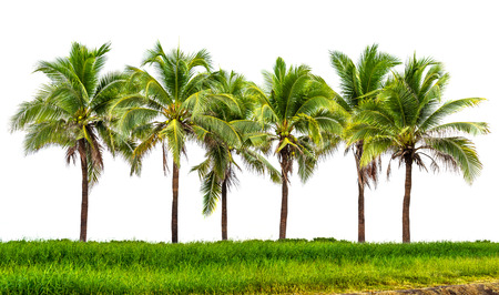 Line up of coconut tree and grassland isolated on white background
