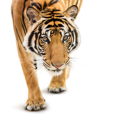 Stalking young siberian tiger isolated on white background