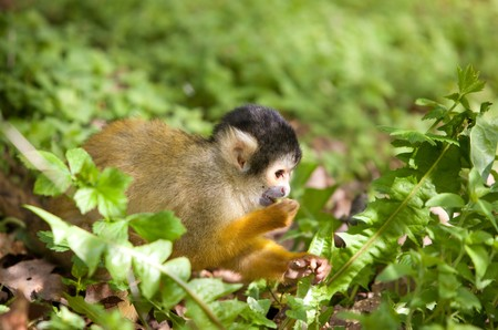 Cute little squirrel monkey busy looking for something to eat in the bushes