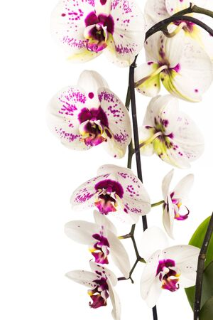 Photo for orchid close up view solated on white background - Image - Royalty Free Image