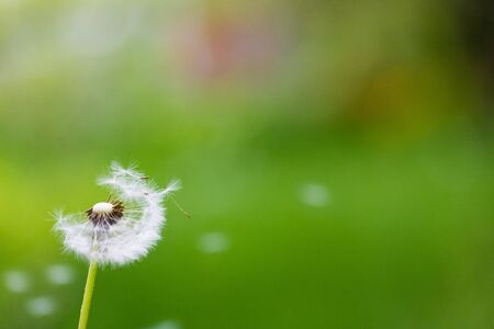 Photo pour Dandelion flying on green background - Image - image libre de droit