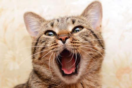 Cat yawning. Singing cat