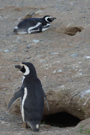 Magellanic Penguins at the penguin sanctuary on Magdalena Island