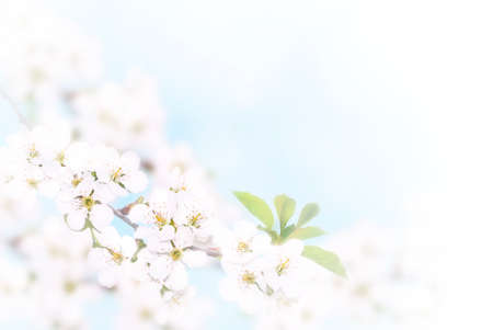 Photo for Branch of white spring blossom over blue sunny bokeh background close-up. - Royalty Free Image