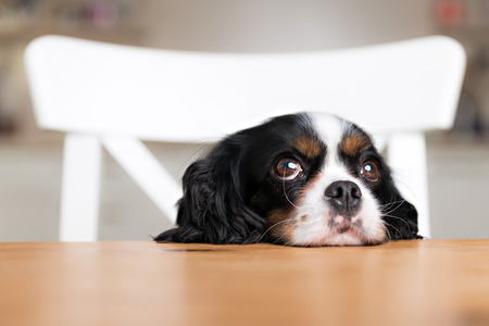 Photo for cute dog begging for food at the kitchen table - Royalty Free Image
