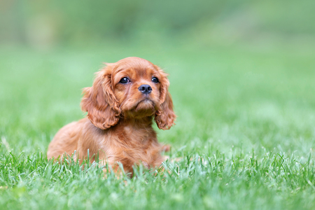 Photo pour Cute puppy lying on the grass in the garden - image libre de droit