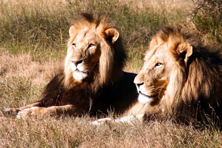 Two large maned male lions resting under a bush