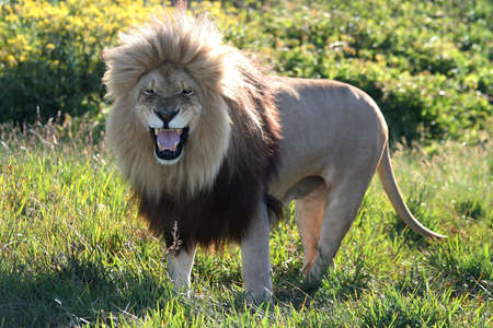 Magnificent male lion with an enormous mane and a fearsome snarl
