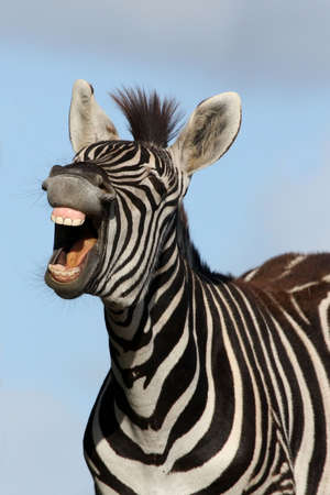 Zebra with mouth open looking like it is laughing