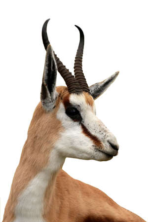 Portrait of an alert springbok antelope from South Africa - isolated