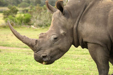 Huge white rhinoceros with grass in it's mouth