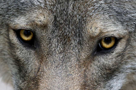 Close up of the yellow eyes of a Timber Wolf